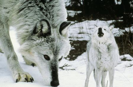 Graywolves1
