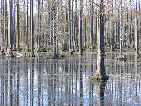 Cypressswamp3